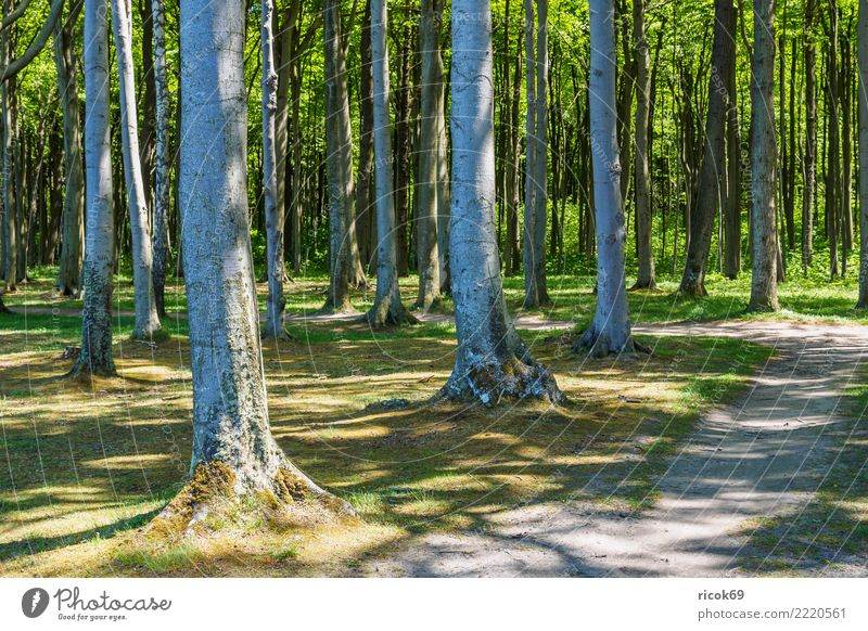 The ghost forest in Nienhagen Relaxation Vacation & Travel Tourism Nature Landscape Tree Forest Lanes & trails Green Romance Idyll Environment coastal forest