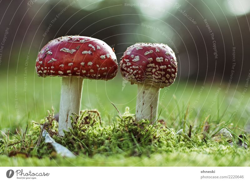 mushrooms Environment Nature Autumn Meadow Red Poison Intoxicant Amanita mushroom Mushroom Colour photo Exterior shot Copy Space right Copy Space top