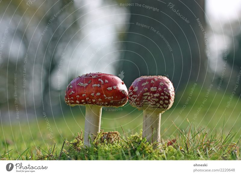 magic Environment Nature Autumn Meadow Red Mushroom Amanita mushroom Intoxicant Poison Colour photo Exterior shot Copy Space left Copy Space right