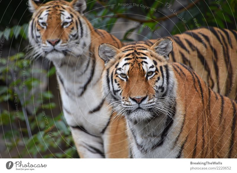 Couple of Amur tigers looking into camera Nature Animal Wild animal Animal face Zoo Tiger Siberian tiger Cat Mammal Carnivore Big cat Wild cat 2 couple