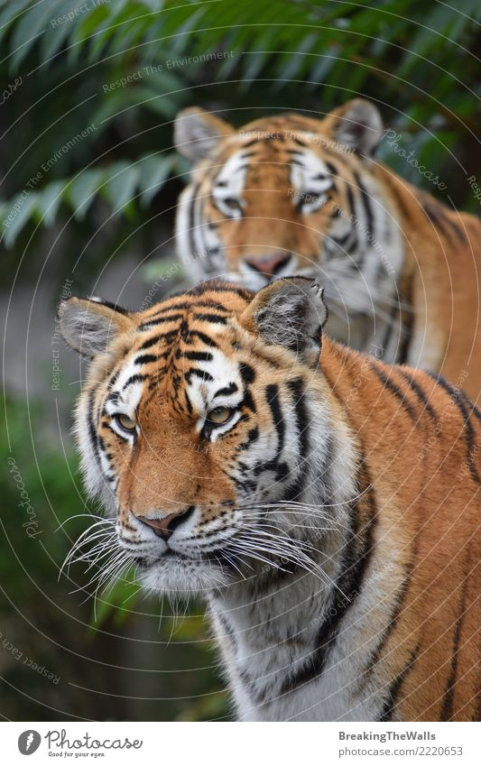 Couple of Amur tigers looking into camera Cat Nature Animal Baby animal Family & Relations Together Wild Wild animal Observe Mammal Watchfulness Zoo Animal face