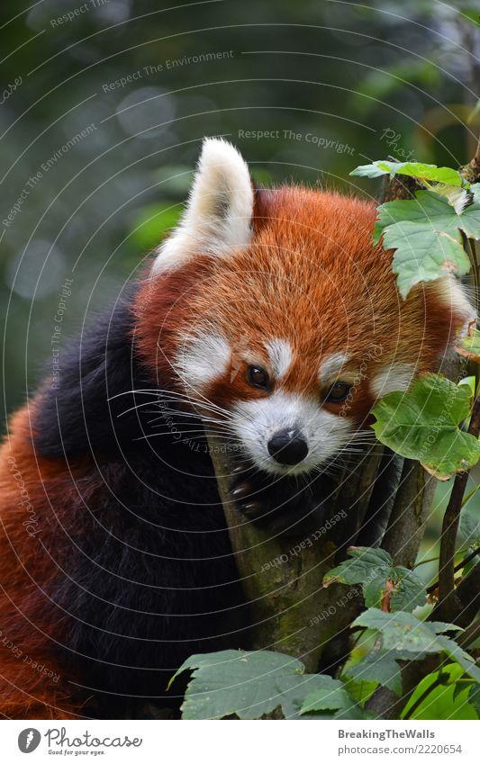 Close up portrait of red panda on tree Animal Wild animal Zoo Panda firefox lesser panda Mammal 1 Brown Orange Red Tree Cute Colour photo Exterior shot Close-up