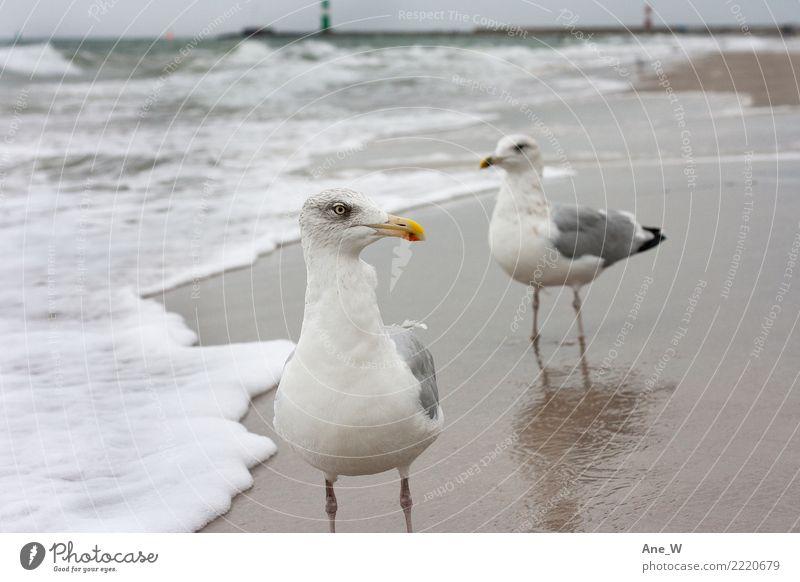 Bitte recht freundlich.. Environment Nature Landscape Animal Sand Water Autumn Coast Beach Baltic Sea Wild animal Bird Animal face Seagull 2 Observe