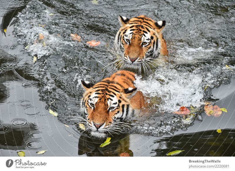 Close up of two tigers swimming in water Cat Nature Water Animal Joy Baby animal Playing Couple Lake Above Wild Wild animal Cute River Float in the water Mammal