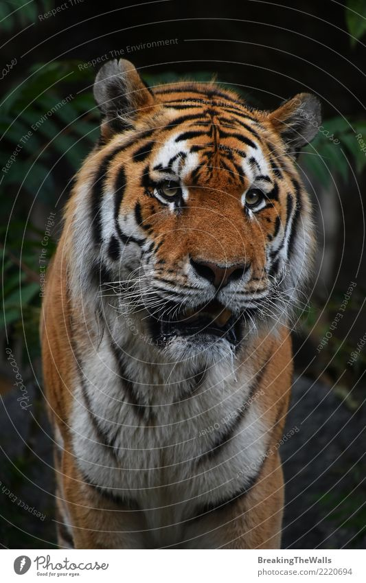 Close up portrait of Amur tiger male Cat Nature Animal Forest Dark Eyes Head Wild Wild animal Observe Mammal Watchfulness Mature Zoo Animal face Snout