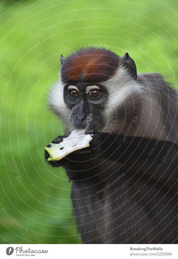 Close up portrait of collared mangabey monkey eating Animal Wild animal Animal face Zoo primate Monkeys Cercocebus torquatus red-capped mangabey Mammal 1 Green