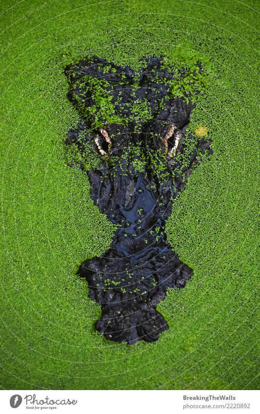 Close up portrait of crocodile in green duckweed Nature Green Water Animal Eyes Head Wild Wild animal Dangerous Wait Threat Risk Zoo Animal face Aggression