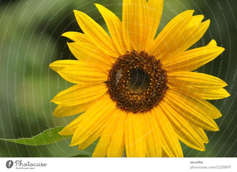 Nature Plant Summer Beautiful Green Sun Flower Yellow Natural Happy Garden Elegant Fresh Happiness Large Simple