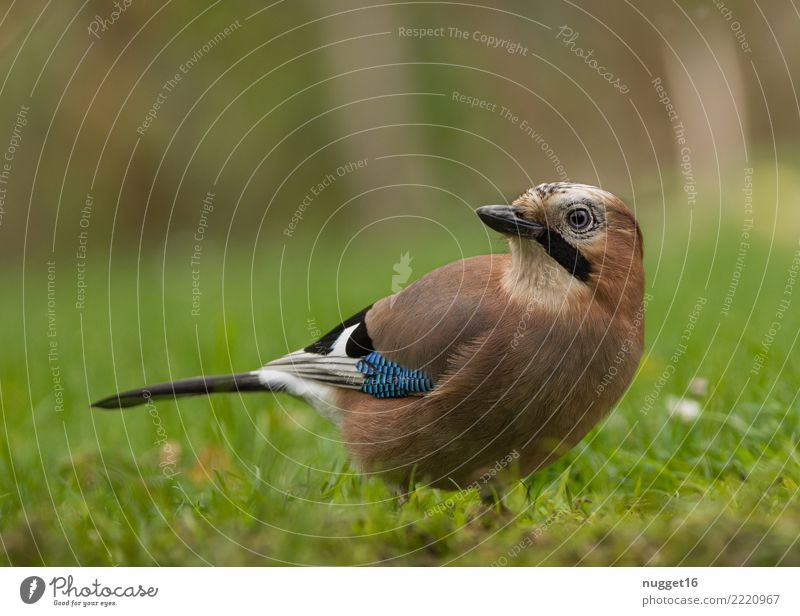 jays Environment Nature Animal Spring Summer Autumn Beautiful weather Plant Grass Garden Park Meadow Field Forest Wild animal Bird Animal face Wing Jay 1