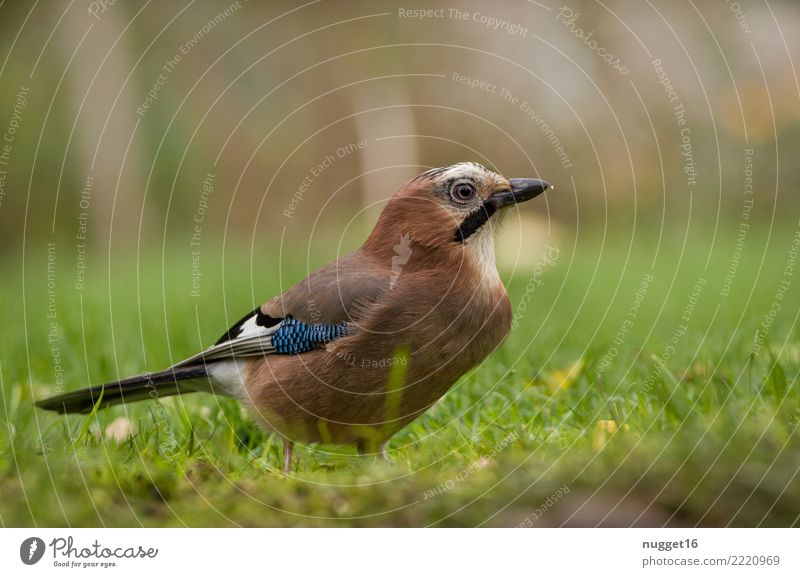 jays Environment Nature Animal Sunlight Spring Summer Autumn Beautiful weather Plant Grass Garden Park Meadow Field Forest Wild animal Bird Animal face Wing Jay