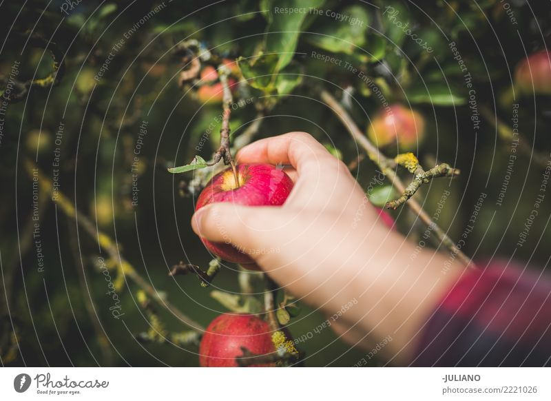 Close up of hands picking apple Food Fruit Apple Lifestyle Healthy Healthy Eating Environment Nature Plant Earth Tree Garden Park Diet Seasonal farm worker
