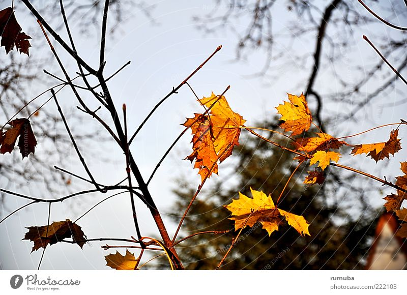 Nature Sky Blue Leaf Yellow Autumn Branch Beautiful weather Twig Faded Humble Autumnal Autumnal colours Maple leaf