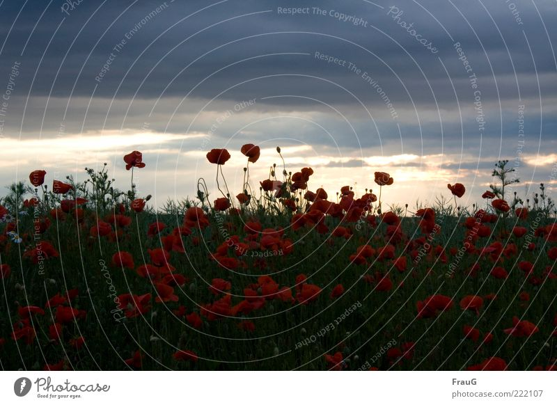 Nature Beautiful Sky Summer Clouds Blossom Landscape Moody Field Horizon Esthetic Natural Blossoming Poppy Gorgeous Covered