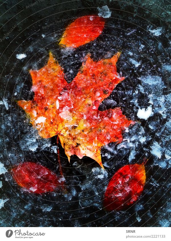 Autumn Leaves In Ice Nature Plant Leaf Freeze Red cold fall Frost ice ice-covered icy maple orange Seasons seasonal wintry Exterior shot