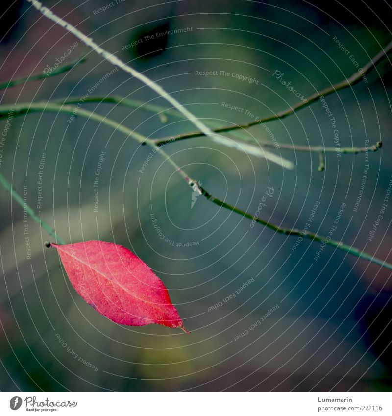 farewell kiss Environment Nature Plant Autumn Leaf Exceptional Dark Simple Beautiful Uniqueness Cold Near Natural Red Moody Loneliness Transience Change