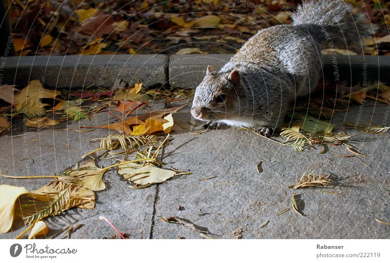 Nature Animal Gray Lanes & trails Authentic Pelt Wild animal Fat Appetite Stress Brash Timidity Crouch Claw Autumn leaves Squirrel