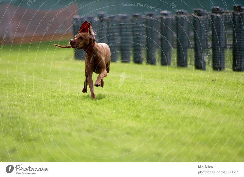 more sprinter Grass Animal Pet Dog Pelt Paw 1 Walking Running Purebred dog Dog racing Movement Crossbreed Action Happy Hound Speed Ear Tails four-legged friends
