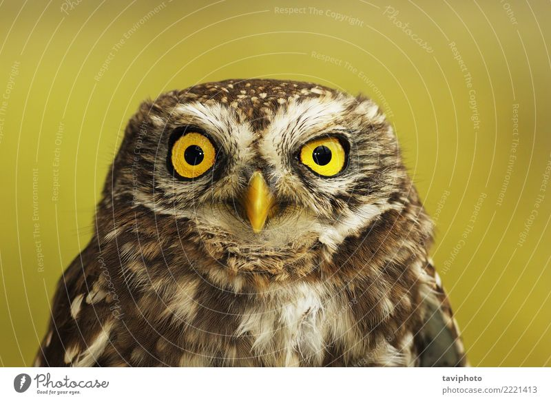 portrait of little owl Beautiful Face Nature Landscape Animal Forest Bird Small Cute Wild Brown Yellow Green Wisdom Colour athene noctua Owl wise colorful