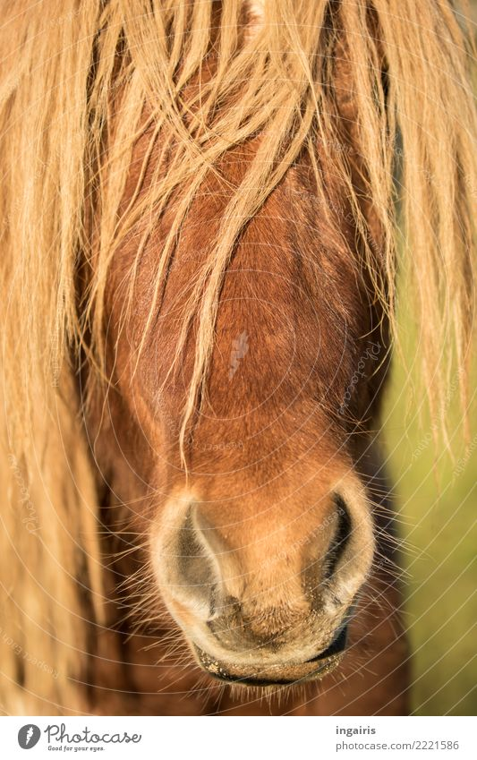 Pony one way or the other Nature Animal Summer Farm animal Horse Animal face Iceland Pony 1 Looking Friendliness Bright Beautiful Wild Moody Contentment Trust