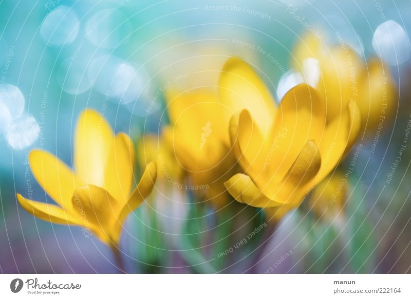 yellow crocuses Nature Spring Plant Flower Leaf Blossom Crocus Spring flower Spring colours Spring flowering plant Blossoming Glittering Fresh Kitsch Beautiful