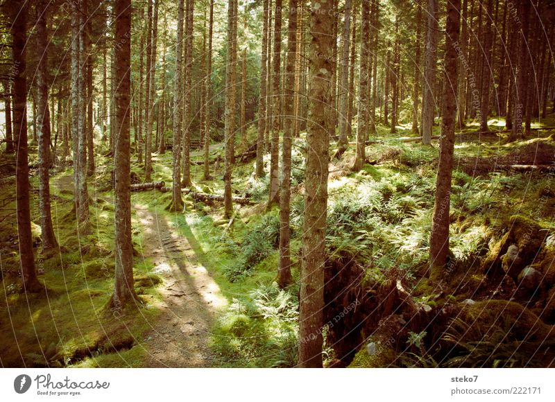 Green Calm Loneliness Forest Lanes & trails Brown Idyll Footpath Narrow Moss Scotland Primordial Coniferous forest Recreation area