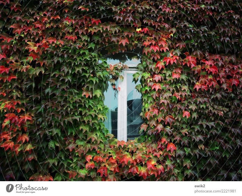 thermal insulation Autumn Beautiful weather Leaf Agricultural crop Ivy Tendril Creeper House (Residential Structure) Building Facade Window Wood Glass Growth