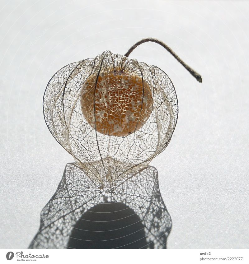 silk Nature Plant Physalis Solanaceae Chinese lantern flower Fruit To dry up Exceptional Thin Authentic Exotic Contentment Uniqueness Network Protection Mature