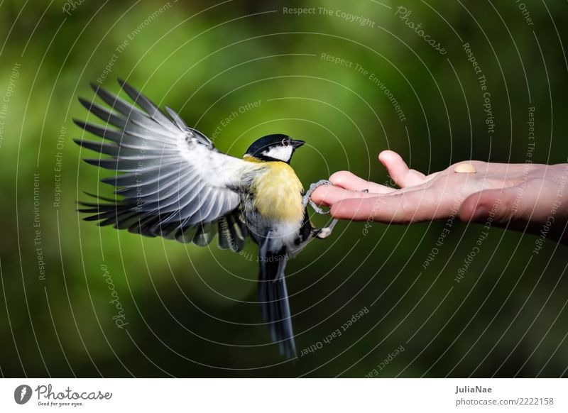 Great tit lands on one hand Tit mouse Feeding Bird Flying Animal Songbirds Beak Feather Winter Nature Hand Landing Wild animal wildlife