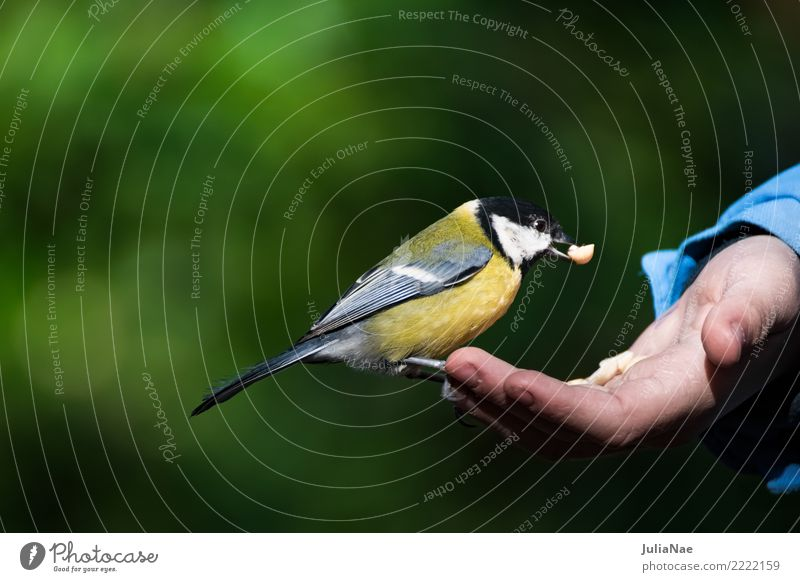 Great tit sits on a hand with food Tit mouse Feeding Bird Flying Animal Songbirds Beak Feather Winter Nature Hand Landing Wild animal wildlife