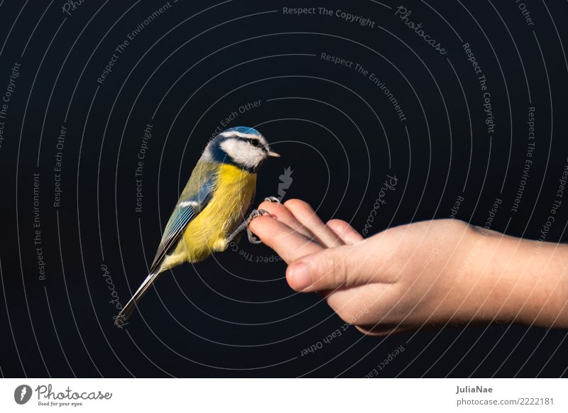Blue tit sits on a hand with lining Winter Hand Nature Animal Wild animal Bird Flying Feeding Tit mouse Songbirds Beak Feather Landing wildlife Colour photo