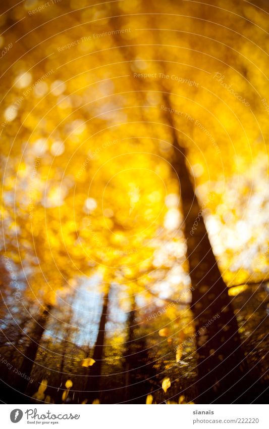 Nature Tree Plant Forest Autumn Environment Gold To fall Illuminate Tree trunk Treetop Autumn leaves Limp Deciduous tree Autumnal Experimental