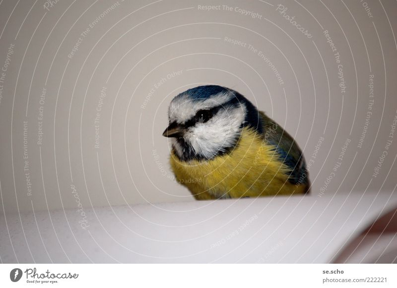 visit Animal Wild animal Bird 1 Blue Multicoloured Yellow Gray White Beautiful Attentive Watchfulness Calm Exhaustion Curiosity Colour photo Interior shot