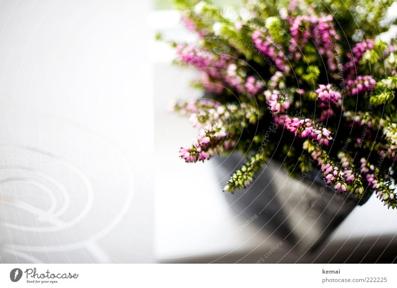 Plant Flower Blossom Bright Growth Decoration Living or residing Blossoming Curtain Partially visible Section of image Flowerpot Window board Heather family
