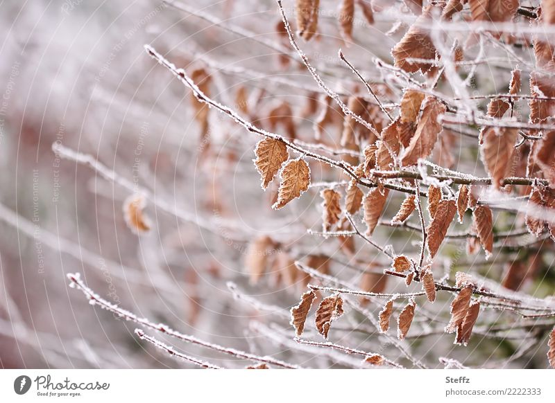 first frost Environment Nature Winter Ice Frost Snow Plant Leaf Autumn leaves Twigs and branches Hedge Garden Freeze Cold Brown White Winter mood Hoar frost