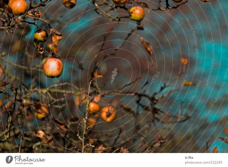 apple orchard Apple Environment Nature Autumn Plant Tree Agricultural crop Apple tree Hang Authentic Juicy Blue Brown Yellow Colour photo Exterior shot Deserted