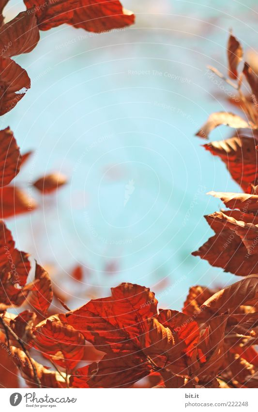 Nature Sky Blue Plant Leaf Autumn Brown Environment Weather Change Dry Seasons Frame Autumn leaves Limp Beech tree