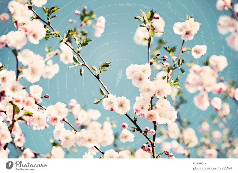 Japanese style Nature Cloudless sky Spring Leaf Blossom Cherry blossom Ornamental cherry Spring colours Spring fever Blossoming Fragrance Authentic Fantastic