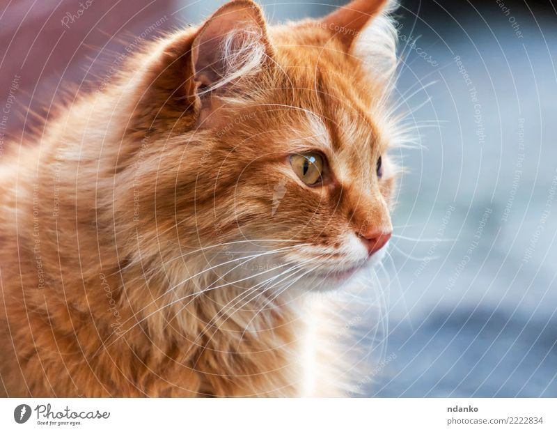 portrait of a red cat Joy Nature Animal Pet Cat 1 Funny Cute Red Love of animals Serene background orange young pretty Posture Domestic Mammal Delightful