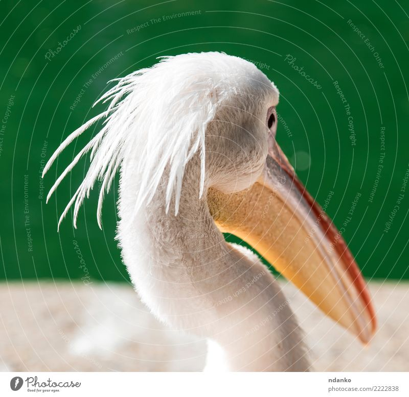 portrait of a white pelican Summer Nature Animal Park Pond Lake Bird 1 Wild Green White Pelican head one Great Beauty Photography background water eye wildlife