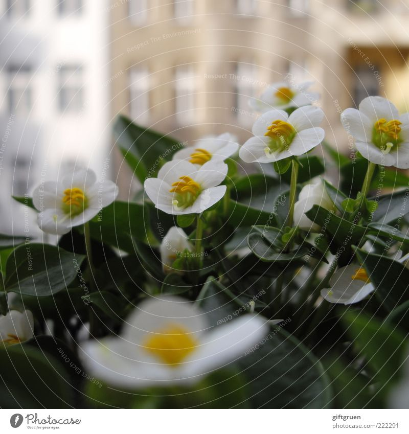 White Green Plant Flower Summer Leaf House (Residential Structure) Wall (building) Window Blossom Wall (barrier) Building Facade Growth Blossoming