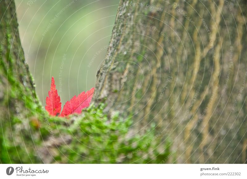 Hide-and-seek ;-) Nature Plant Autumn Tree Leaf Brown Green Red Beautiful Surprise Transience Maple leaf Moss Tree bark Hiding place Colour photo Exterior shot