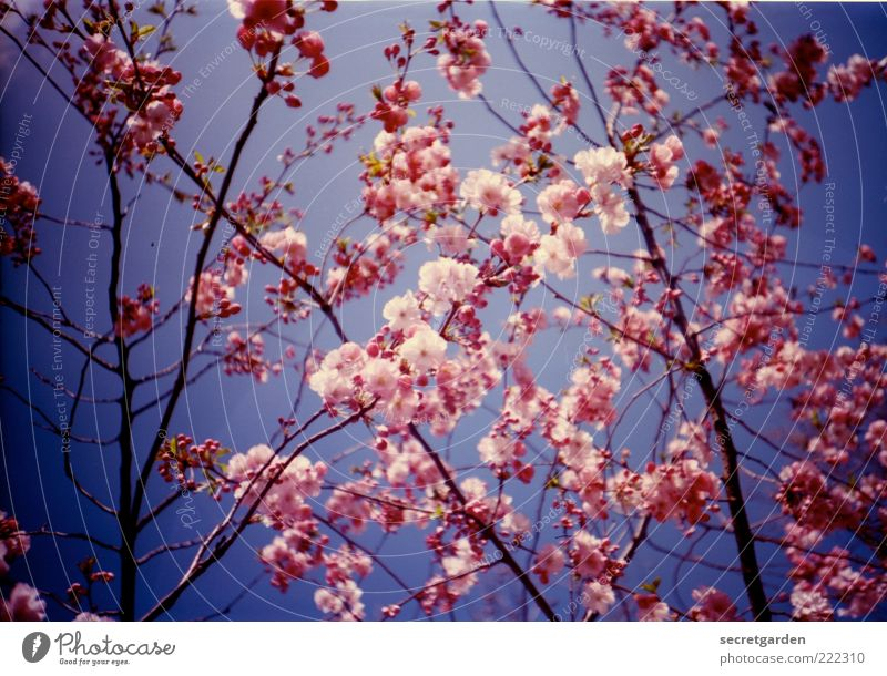 Give the snow a pink contra! Summer Environment Nature Plant Sky Cloudless sky Spring Beautiful weather Blossom Blossoming Fragrance Blue Pink Spring fever
