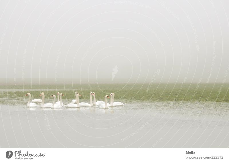 swanery Environment Nature Animal Weather Fog Pond Lake Wild animal Swan Group of animals Together Bright Natural Gray Green White Idyll Calm Dreary Gloomy