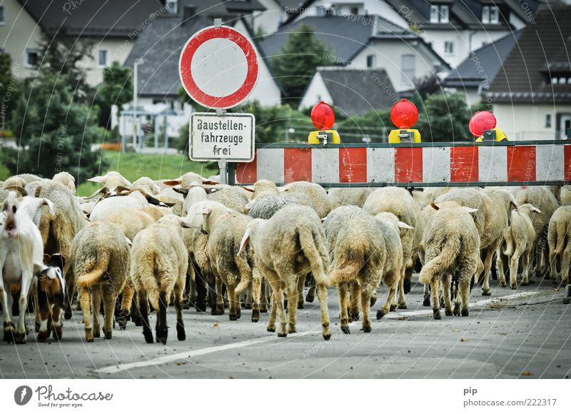 House (Residential Structure) Animal Street Together Dirty Walking Signs and labeling Multiple Laws and Regulations Construction site Group of animals Village City Many Sheep Barrier