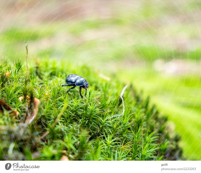 forest dung beetle Nature Plant Animal Moss Forest Beetle Dark Blue Anoplotrupes stercorosus Insect flat angle Habitat detail Dazzling Exterior shot Close-up