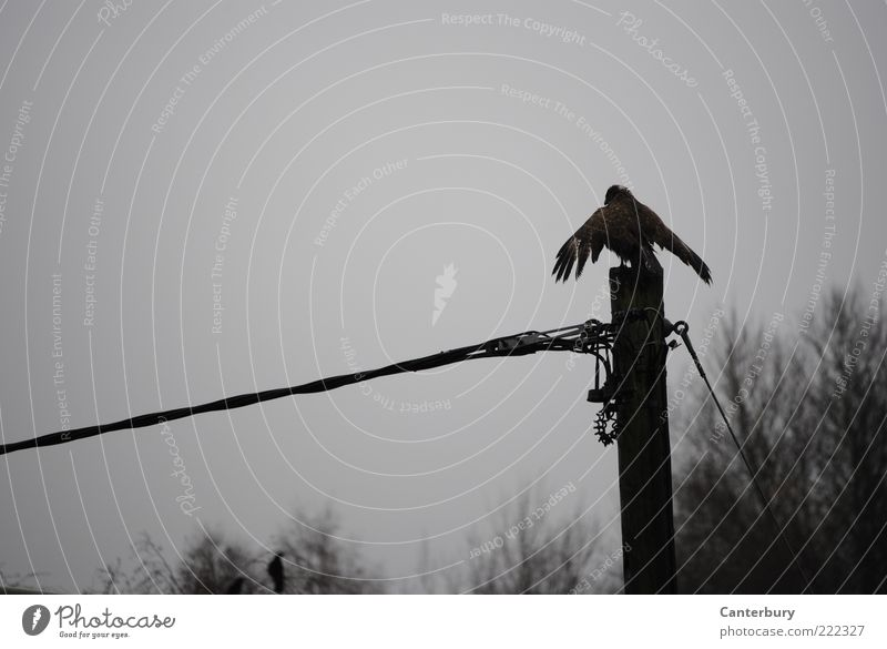 Buzzard under Current Animal Autumn Bad weather Bird Wing 1 Crouch Wait Tall Gloomy Gray Black Watchfulness Calm Pride Subdued colour Exterior shot