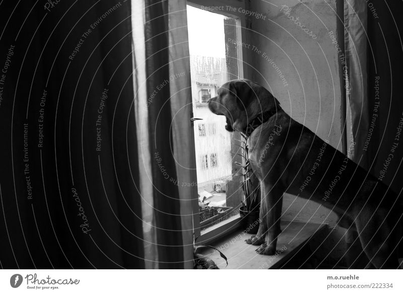 Animal Dog Observe Watchfulness Window pane Black & white photo Pet Window board Window Guard Yawn Puppydog eyes Dog's head Dog's snout