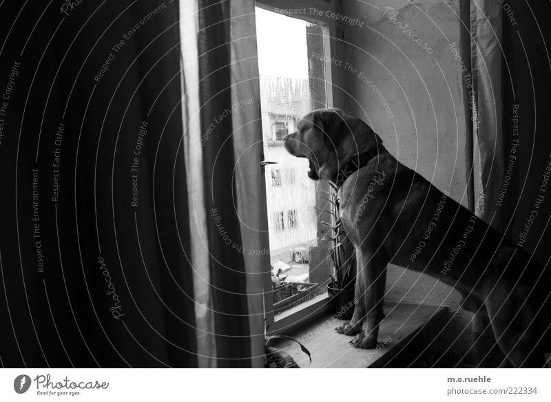Bruno Animal Pet Dog 1 Observe Looking Guard Yawn Dog's head Dog's snout Puppydog eyes Watchfulness Wauwau Window board Window pane Black & white photo
