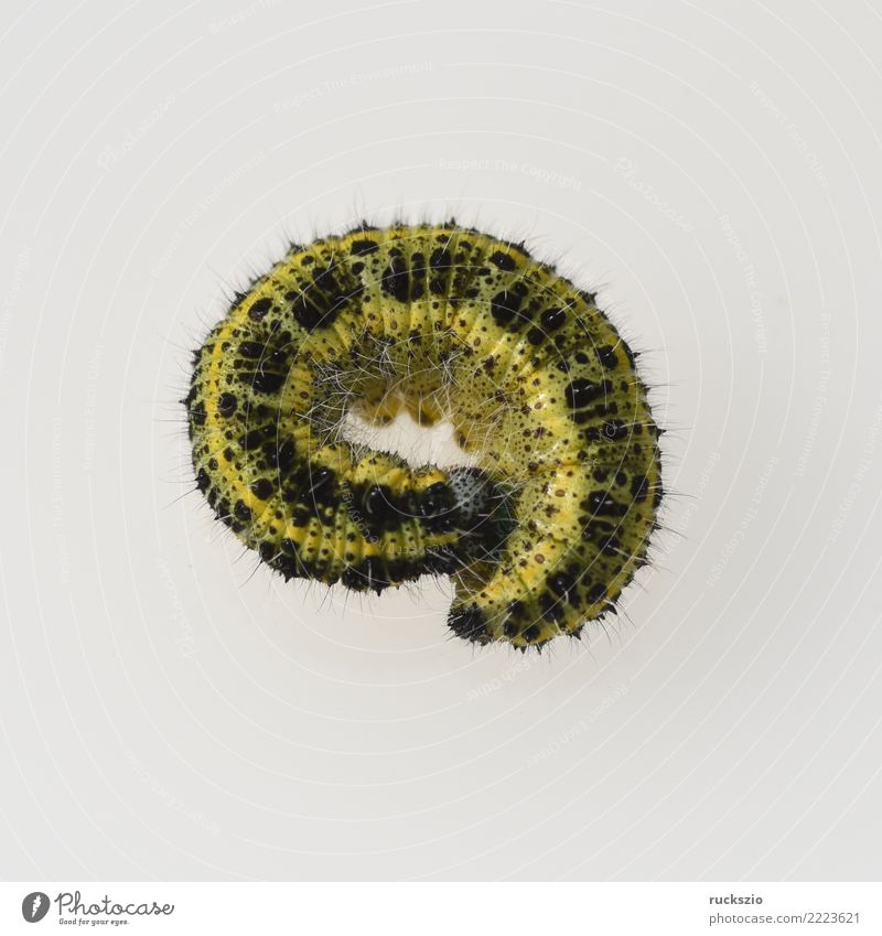 Caterpillars, large brooch, pieris, brassicae Animal Wild animal Butterfly Authentic Brown Yellow White caterpillars Cabbage white butterfly Pieris cabbages