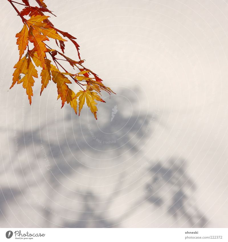 Sun Calm Leaf Autumn Wall (building) Beautiful weather Twigs and branches Autumnal Nature Autumnal colours